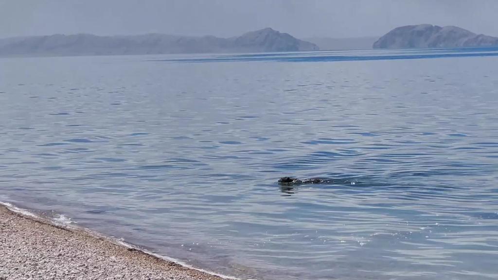 """【微視頻】藏北:首次拍到雪豹""""遊泳""""的畫面"""