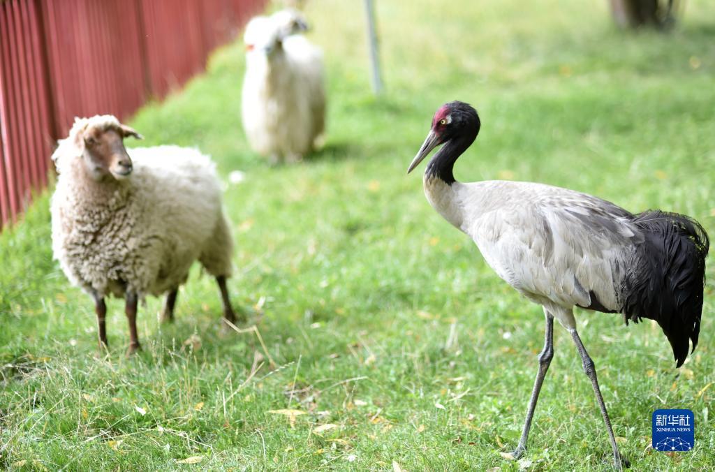 鶴立羊群(圖)