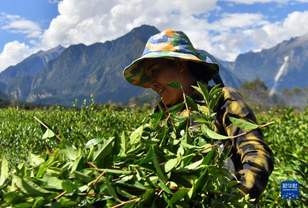 西藏易貢進入秋茶採摘季(圖)