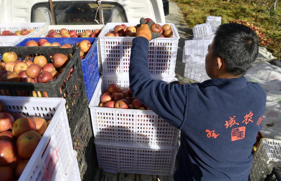 西藏林芝:高原蘋果産業助農增收(圖)