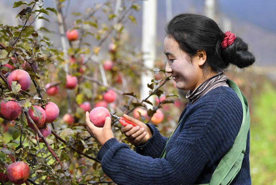 西藏林芝:高原蘋果喜獲豐收(圖)