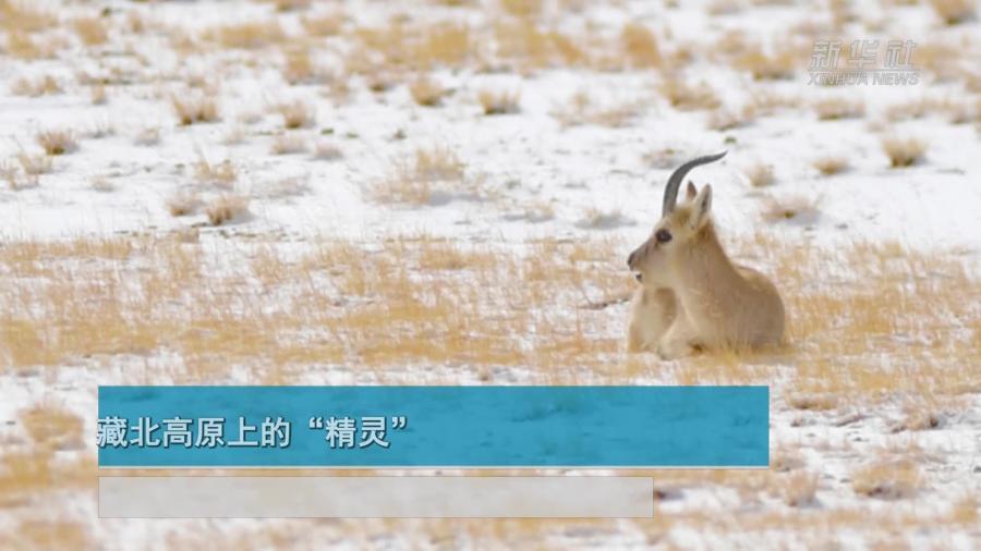 """【微視頻】藏北高原上的""""精靈"""""""