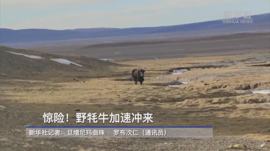 【微視頻】驚險!野牦牛加速衝來